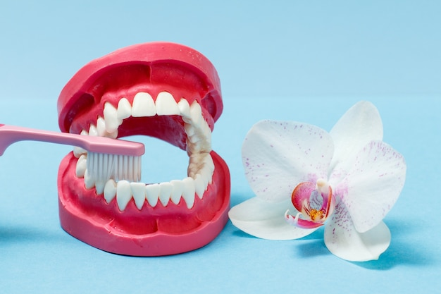 Layout of the human jaw and a toothbrush on the blue background with the bud of an orchid flower.
