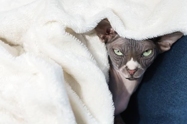 怠惰なかわいいスフィンクス猫が毛布の下に横たわっています