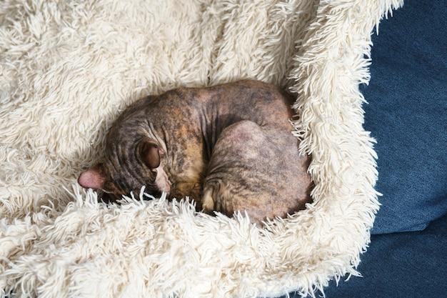 怠惰なかわいいスフィンクス猫がソファで寝ています