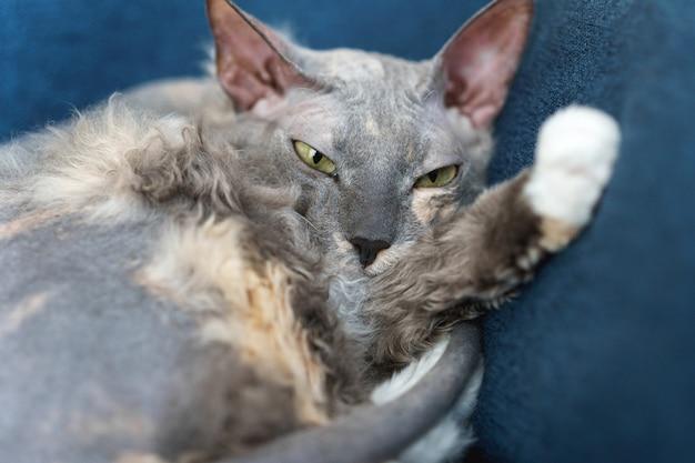 Lazy cute sphynx cat sleeping on the sofa