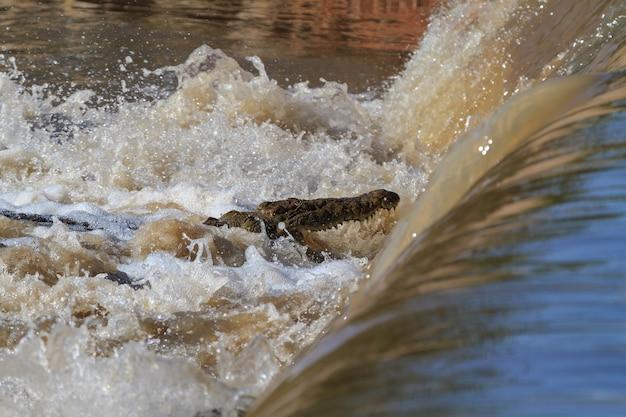 Ленивая рыбалка. нильский крокодил на реке грумети. танзания, африка