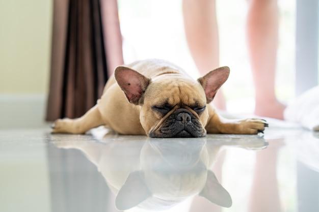 Ленивый французский бульдог лежит в помещении