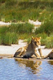 Ленивая львица на берегу небольшого озера. серенгети, танзания