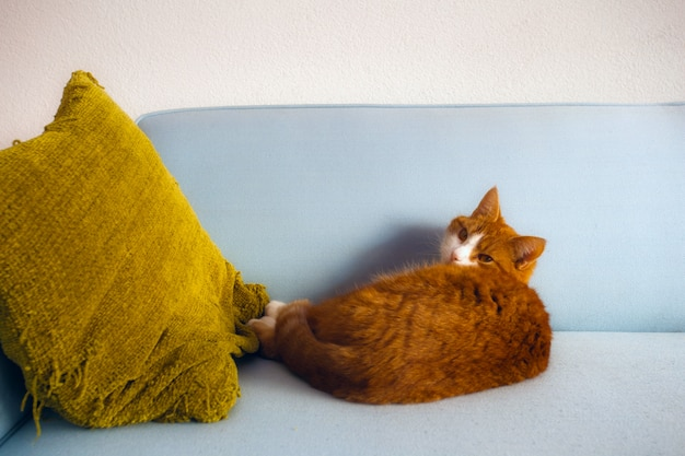 Lazy red cat lies on blue sofa with yellow pillow