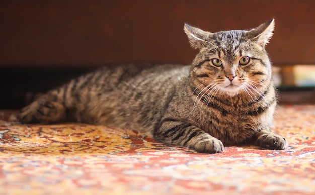 Lazy striped domestic cat relaxing on colorful carpet at home.