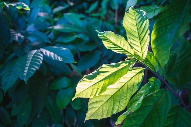 カカオ植物の葉の背景と日光