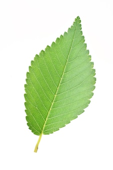 Leaf of a birch