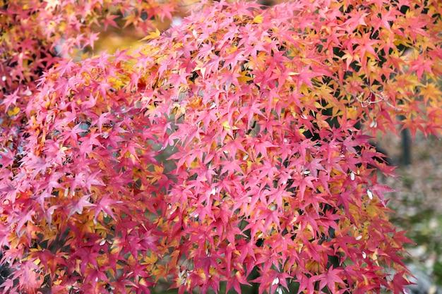 The leaf change color in nature at japan