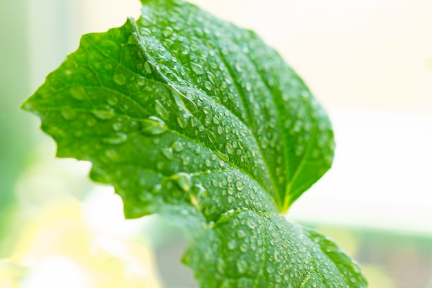 Leaf of cucumber in dew