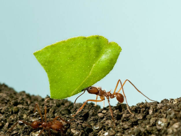 Leaf-cutter ant, acromyrmex octospinosus, carrying leaf on blue isolated