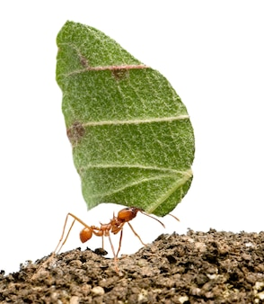 Leaf-cutter ant, acromyrmex octospinosus, carrying leaf ion white isolated
