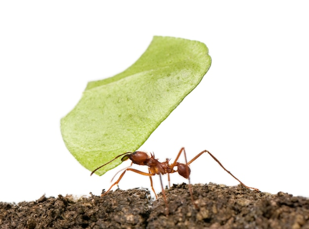 Leaf-cutter ant, acromyrmex octospinosus, carrying leaf on white isolated
