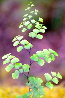 Leaf of a fern (adiantum capillus-veneris), a delicate plant that grows in humid places