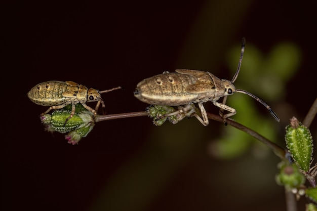Catorhinthaguttula種のヘリカメムシ幼虫