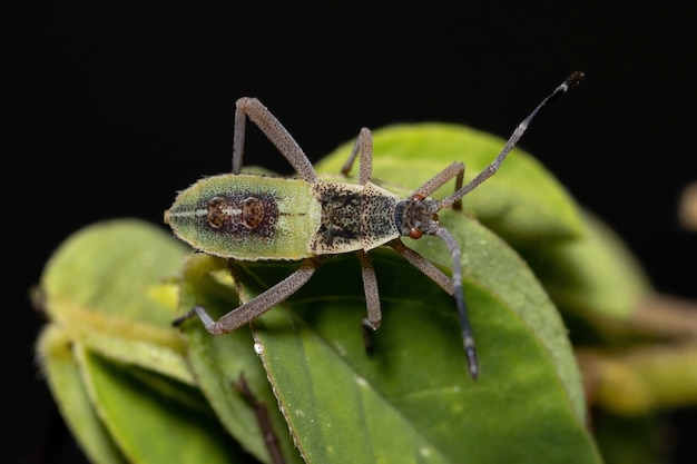 Leaf-footed bug nymph of the species athaumastus haematicus