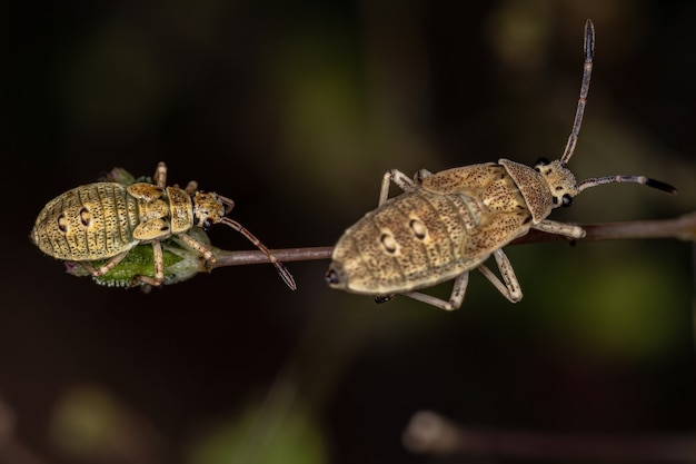 Leaf-footed bug nymph of the species catorhintha guttula