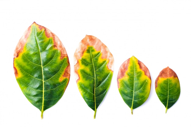Leaf infectious (leaves disease) in bad environment isolated on white background - nature concept.