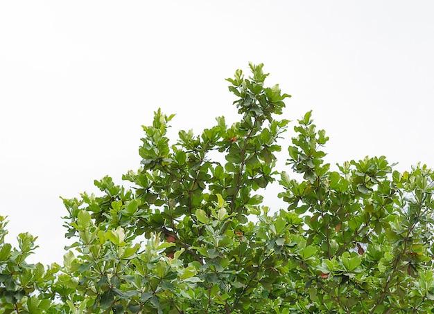白い背景の葉の分離