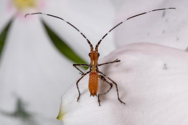 Листовая нимфа katydid подсемейства phaneropterinae