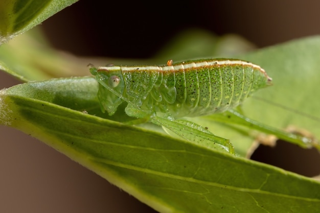 Leaf katydid nymph of the tribe phaneropterini
