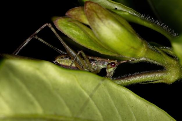 Leaf katydid nymph of the tribe scudderiini
