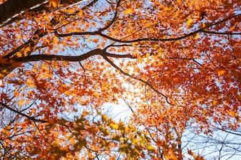 Leaf Maple Autumn Season at Lake kawaguchiko in japan on autumn season