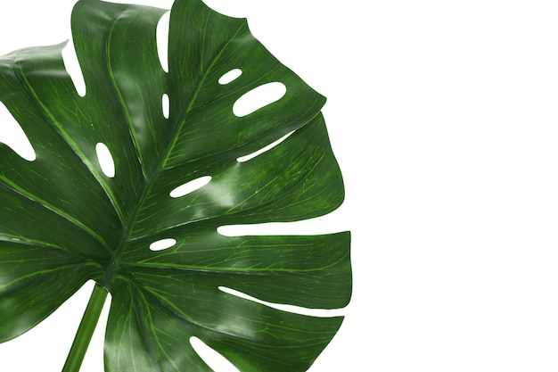 Leaf of monstera plant isolated on white background