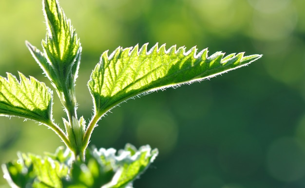 Leaf od nettle
