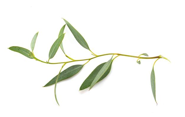 Лист эвкалипта перед белым