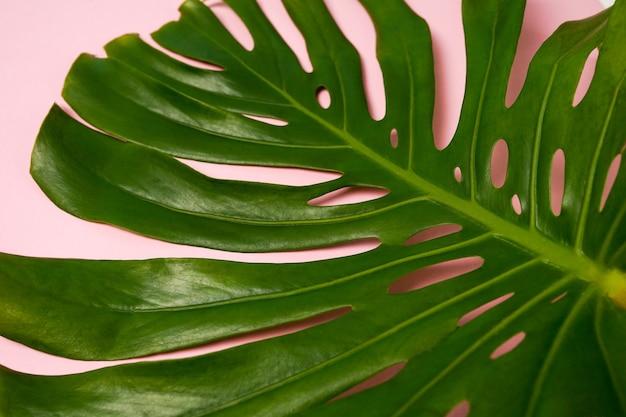 ピンクの背景に緑のモンステラの葉