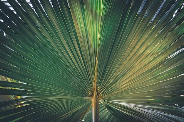 一般に砂漠のファンパームまたはカリフォルニアのファンパームとして知られているワシントンヤシの葉