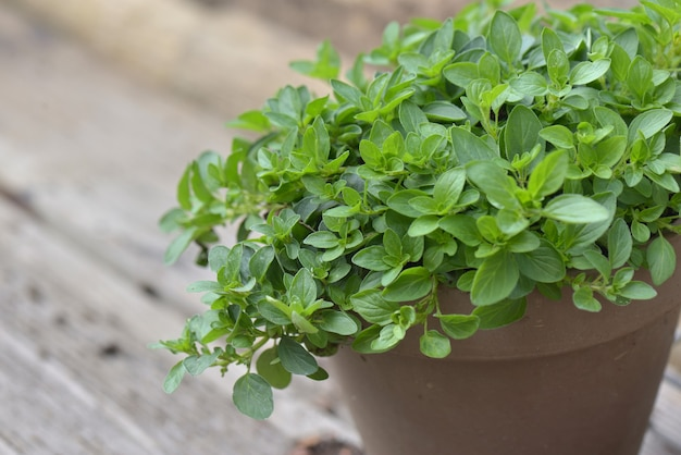 Leaf of oregano plant growing in a flower pot on wooden background