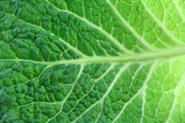 Leaf of ripe savoy cabbage isolated on white background