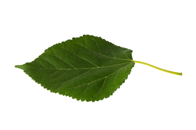 白で隔離される葉のバラ