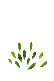 Листья расположены в виде полукруга радиуса в студийном свете на белом