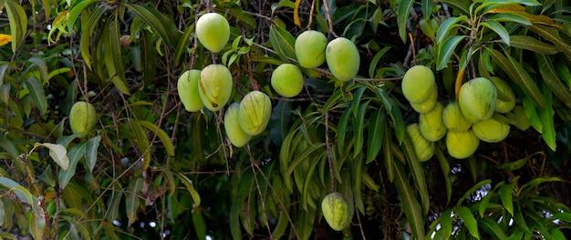 Leafy mango tree with closeup on immature fruits. sao paulo state, brazil