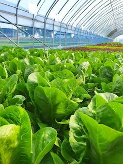 실내 농장 / 수직 농장에서 잎이 많은 채소가 자랍니다. 수직 농장