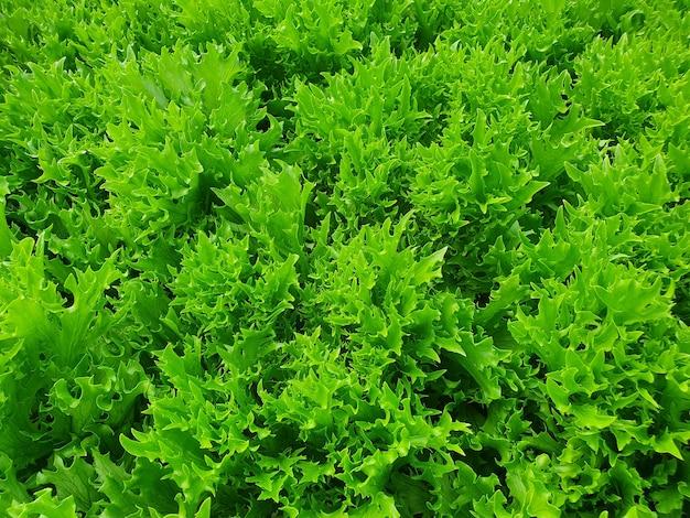 실내 농장 / 수직 농장에서 잎이 많은 채소가 자랍니다.