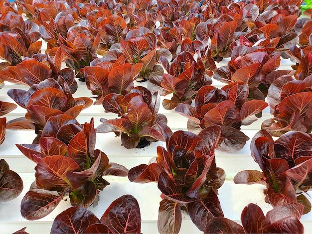 Leafy vegetables are growing in indoor farm/vertical farm. vertical farm