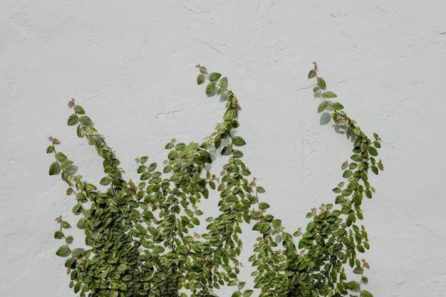 흰 벽에 달리는 잎이 많은 덩굴