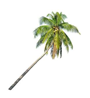 白い背景で隔離の傾いたココナッツ椰子の木。