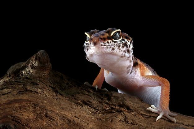 검은 배경을 가진 나뭇가지에 있는 레오파드 도마뱀붙이
