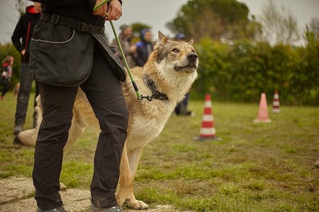 Волчья собака на поводке в парке