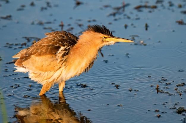 Наименее выпь или ixobrychus exilis, стоящий у реки. выборочный фокус.