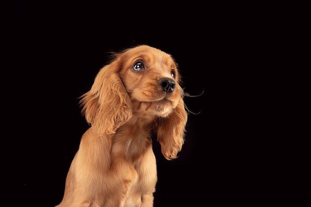 不要让我一个人。英国可卡犬幼狗摆在。逗人喜爱的嬉戏的braun小狗或宠物充分坐在黑背景隔绝的注意。运动,行动,运动的概念。