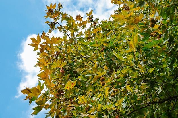 비행기 나무의 잎과 열매, 구름과 푸른 하늘의 배경에 둥근 플라타너스 열매가있는 플라타너스 나무의 가지.