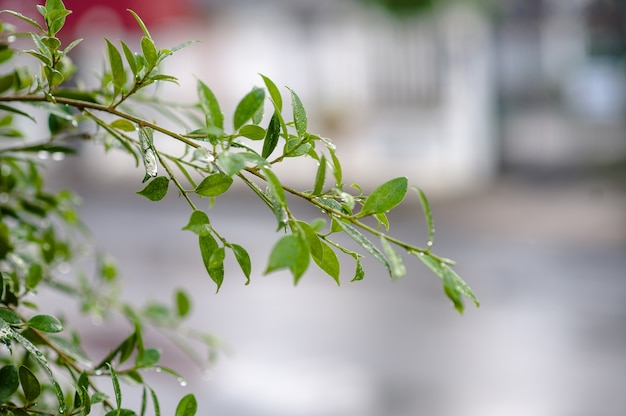 The leaves are not leafy in the rain. there are drops in leaves, shoots, leaves, soft leav