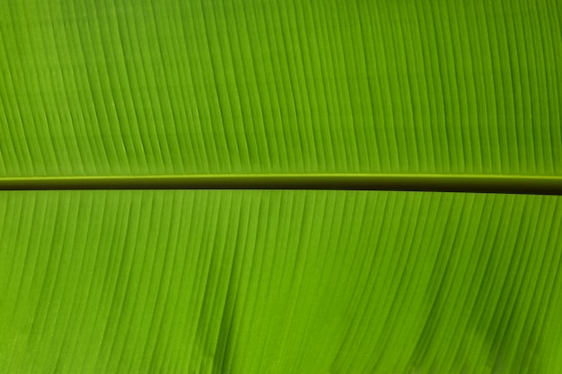 The leaves of the banana tree green beautiful close up, texture