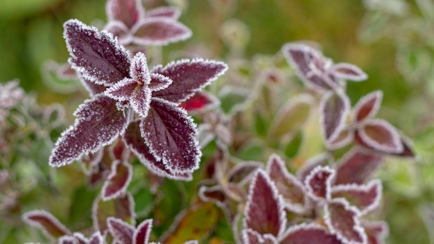 Leaves colorful bright autumn bushes spiraea in white frost, autumn time.