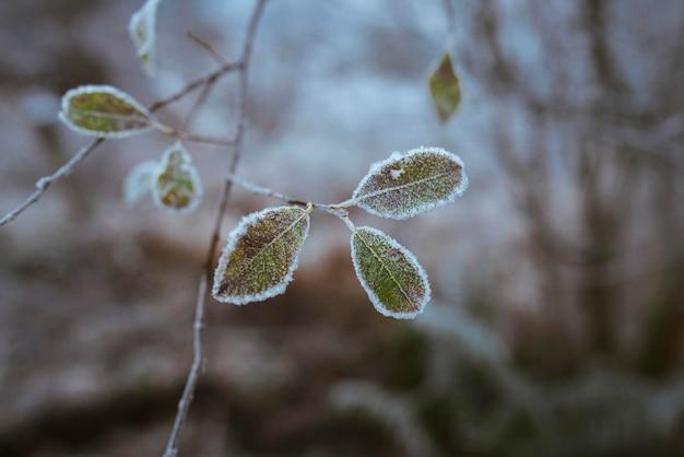 Buachaille etivemorで霜に覆われた葉